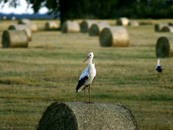 Lithuania's national bird Stork